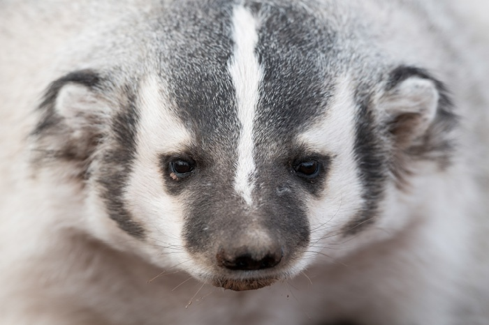 Badger_feature-image